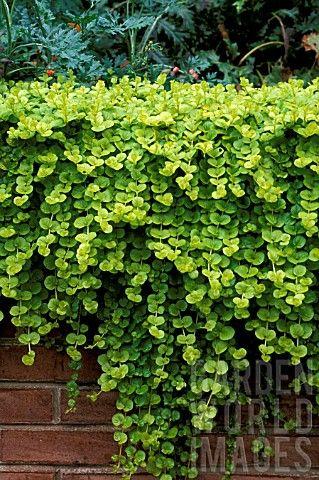 Lysimachia 'Goldilocks'   Log House Plants