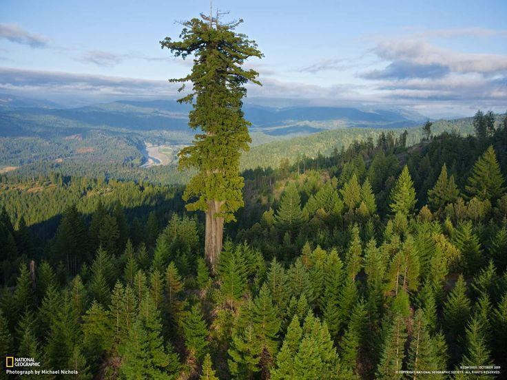 Hyperion, the world's tallest tree at 379.7 feet (115.61 meters) in Northern California - Imgur
