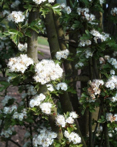 Crataegus monogyna 'Stricta' #flowering #tree #trees www.vdberk.co.uk