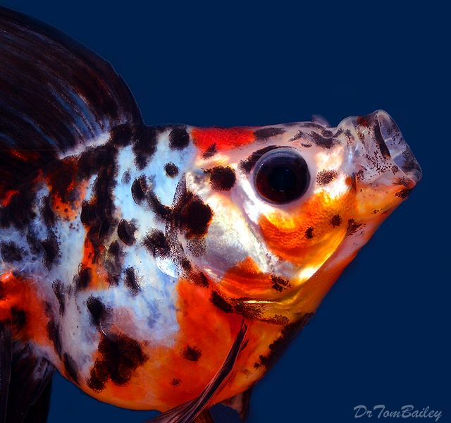 A fancy calico ryukin goldfish to see more click on for Fish that can live with goldfish