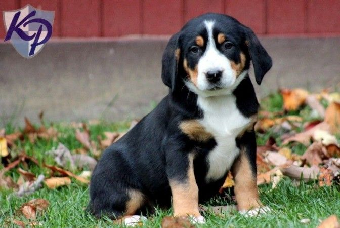 Greater Swiss Mountain Dog Border Collie Mix Dog Pictures
