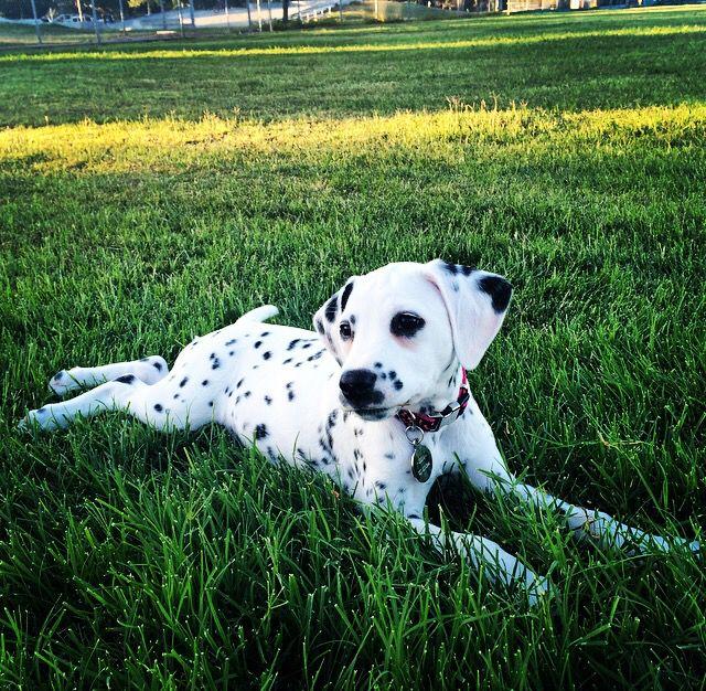 Dalmatian Dogs Puppies Rhode Island USA