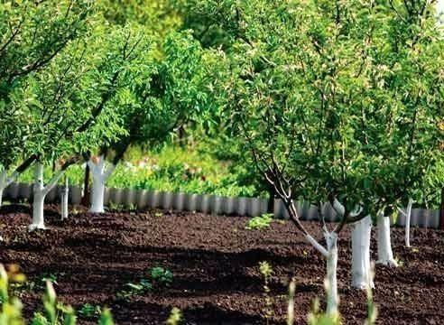 Как рассадить плодовые деревья?   Дачники