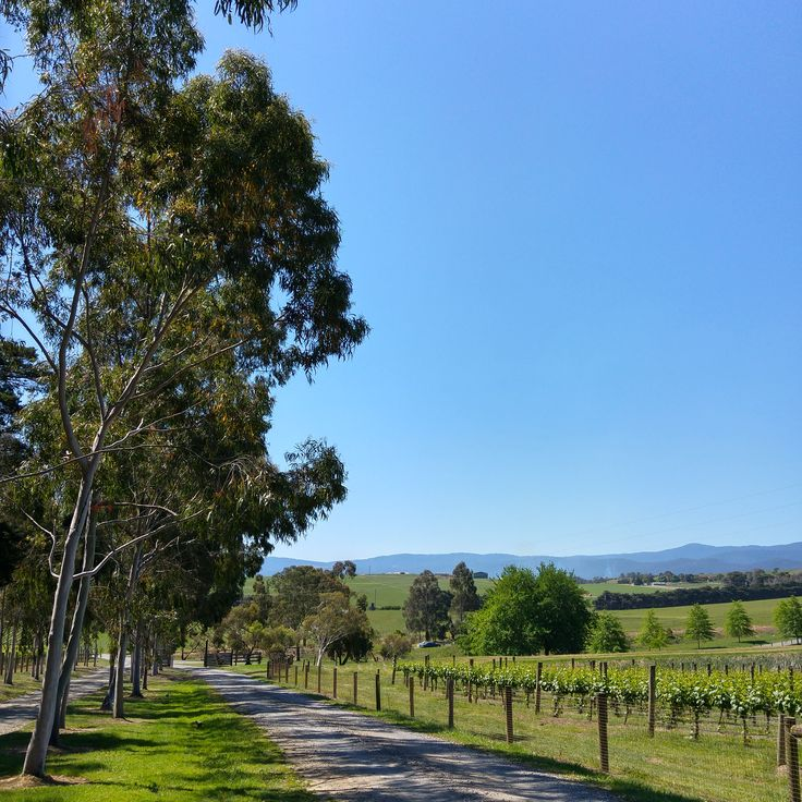 Zonzo Estate: The gum lined driveway reminds you that you are in the Australian wine country.