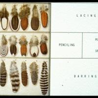 Chicken feather patterns: Chicken Info, Feather Marking, Chick Chicken, Chicken Coops, Feather Patterns, Chicken Feathers, Chicken Stuff, Farming