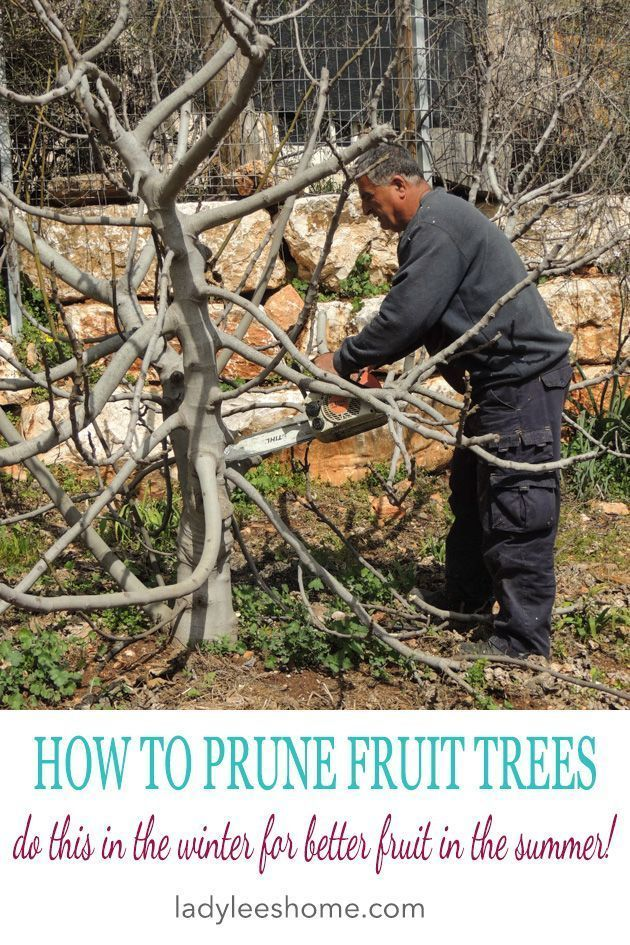 How To Prune Fruit Trees To Keep Them Small Growing Fruit Trees Prune Fruit Fruit Trees