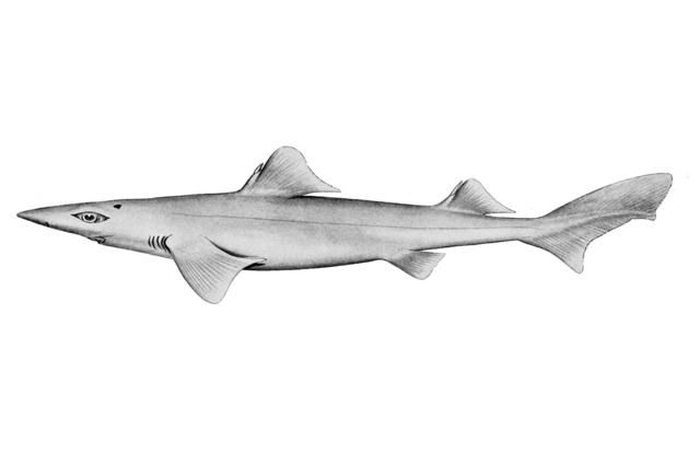 Dumb gulper shark-- The dumb gulper shark is a rare and endangered deepwater dogfish that lives off the coast of Australia. It's particularly known for its unusually huge eyes and its long lifespan -- they are believed to live up to 46 years.