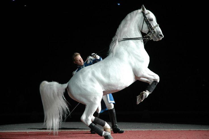 The Lippizaner - beautiful.: Lippizan Stallion, Lippizan Hors, Beautiful Hors, Hors Lipizzan, Google Search, Lipizzan Out, Favorite Hors, Things Beautiful, Hors Beautiful