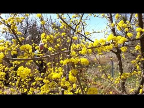 Kızılcık Çiçekleri ve Arılar - YouTube