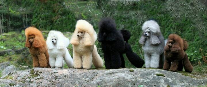 Poodle Colours Great Dog Pics Pinterest Poodles Colors And The Rainbow