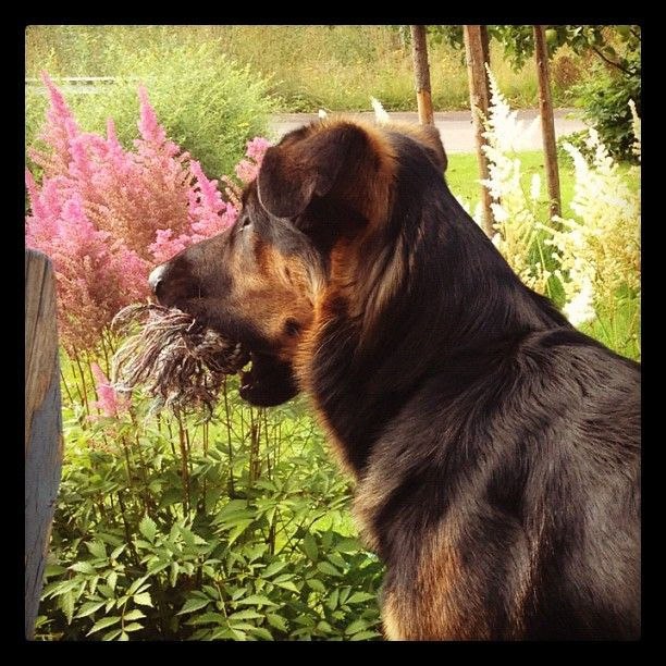 #Bertil the #dog want to play | Photo from the Instacanvas gallery of #Webrose.