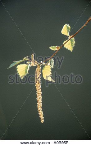 common birch, silver birch, European white birch, white birch (Betula pendula, Betula alba), male catkin, Germany, - Stock Photo