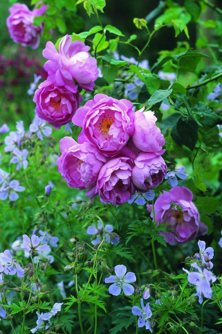 571 best English Rose scented garden images on Pinterest   Beautiful ...
