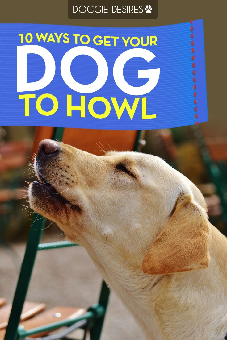 10 ways to get your dog to howl...share! >> http://doggiedesires.com/10-ways-to-get-your-dog-to-howl/