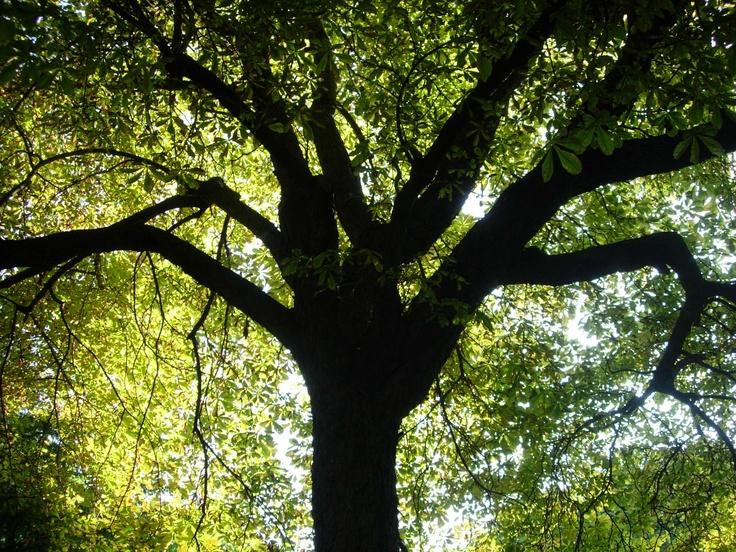 @oafu big tree