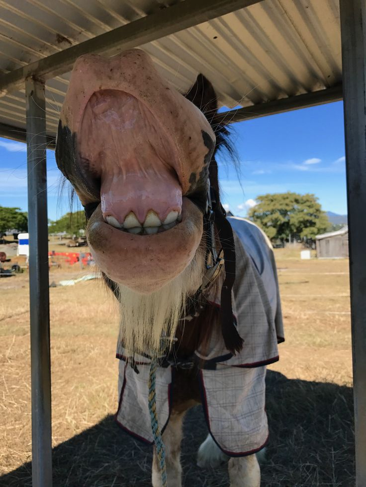 Horse humor - Clydesdales