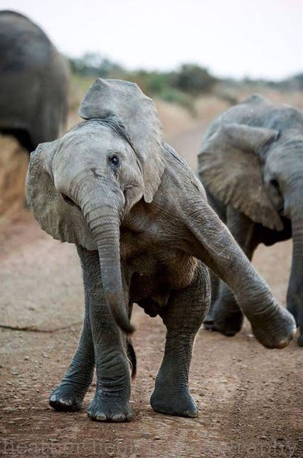 "Baby Elephant Dancing. ••••(KO) What a sweet little guy! If everyone ""turned it loose"" occasionally the world would be a happier place."