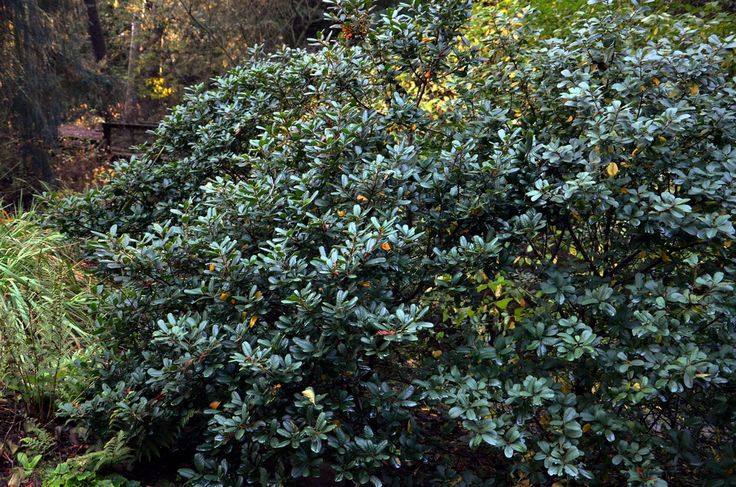 Rhamnus californica 'Leatherleaf' (Coffeeberry)