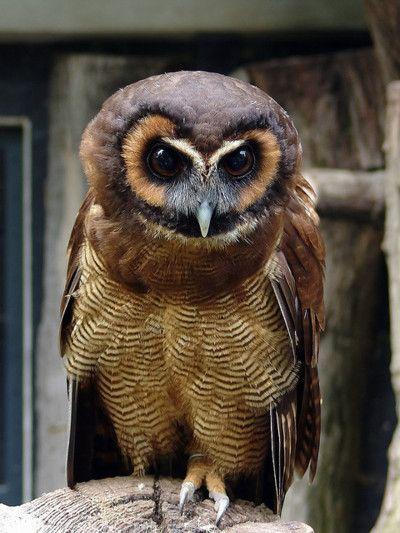 Beautiful Brown Barn Owl