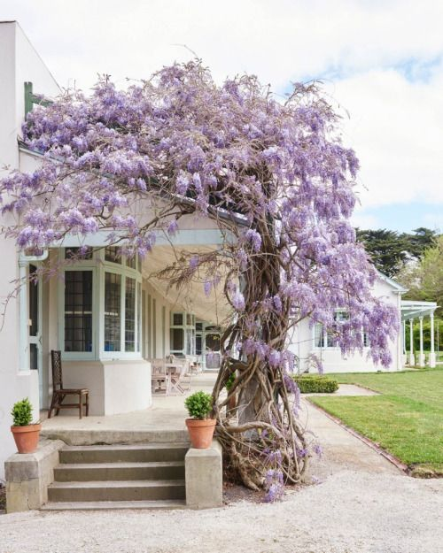 A voluptuous wisteria (Wisteria sinensis) winds its way around the verandah of Coombe Cottage at the Coombe Estate in Coldstream, Victoria