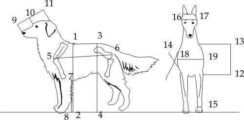 измерить рост собаки в холке