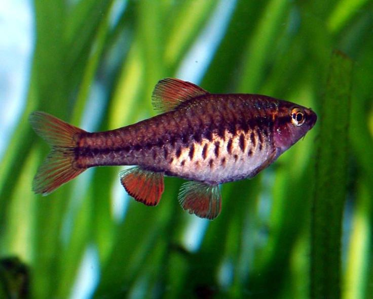 241 best fishy images on pinterest fish aquariums fish for Cherry barb fish