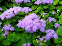 """Flossflowers or Ageratum emits a smell which mosquitos find particularly offensive. It secretes coumarin, which is widely used in commercial mosquito repellent.  Ageratum is a perenial plant which reaches heights of 8-18"""" & has blue flowers, although there are varieties with pink, white & violet blooms. This plant will thrive in full or part sun & doesn't require rich soil. Good in rock gardens.Leaves can be crushed to increase  odor, its not advisable to rub directly on the skin."""