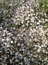 gypsophila rosenschleier - Google Search     Rosenslöja 30 cm  Annette gillar denna