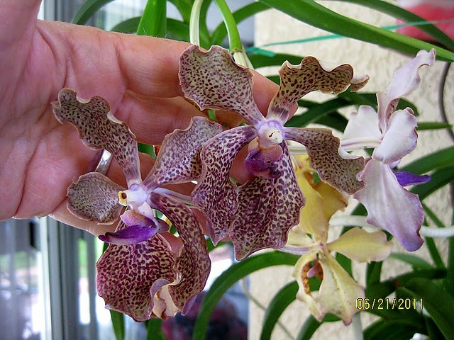 vanda kultana fragrance exotic orchids pinterest. Black Bedroom Furniture Sets. Home Design Ideas