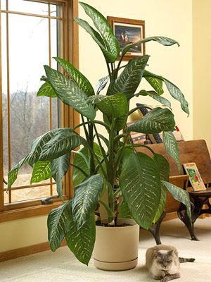 36 best showroom plants images on pinterest green plants for Easy large house plants