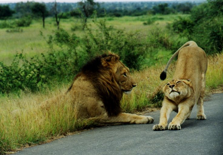 African Jungle Animals |Amazing photo of a  Male & Female Lion