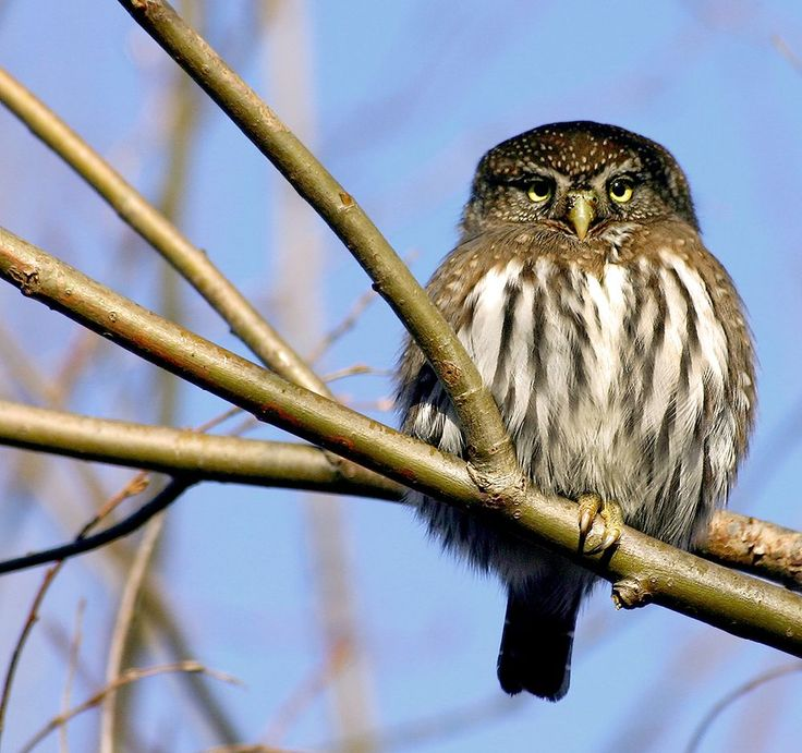 Pygmy Owl Photo by Paul Yates -- National Geographic Your Shot