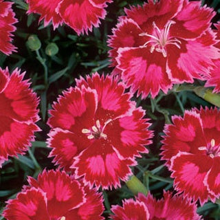 Dianthus Dessert-perennial.  Very vigorous with exploding deep velevty-red blooms.