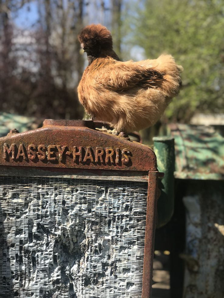 Scrambles admiring a Vintage Massey Harris