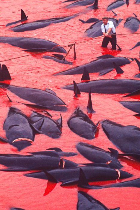 You've got to be kidding! Faroe Islands, Denmark, where around 950 pilot whales are slaughtered annually for their flesh.
