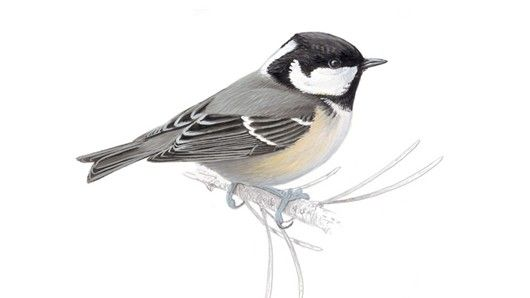 Coal tit - found in woodlands, parks and gardens. Hops on the ground, eats insects, nuts and seeds