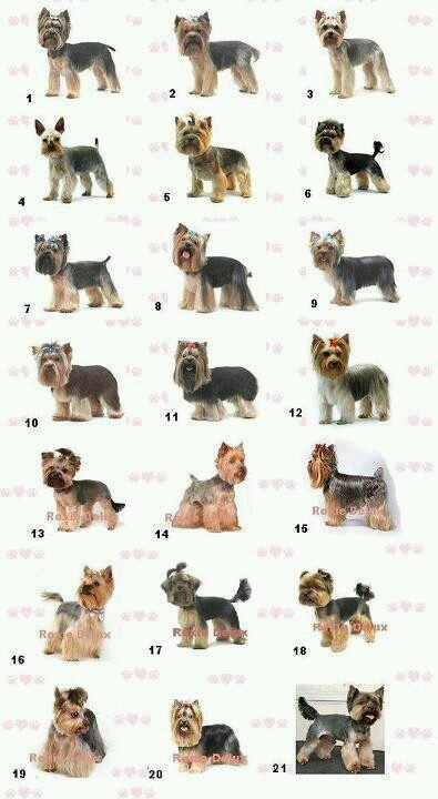 Yorkie Haircut Guide - #9 Looks best for Nika