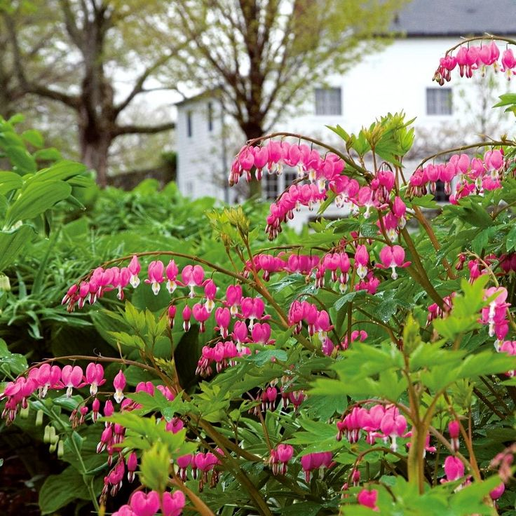 Dicentra spectabilis in 2020 (With images) White flower