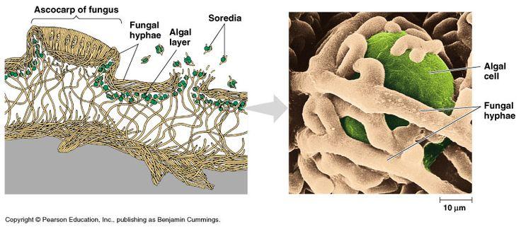 Biology Pictures  Lichen Anatomy