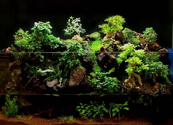 Bonsai aquarium aquascape pinterest aquarium for Aquarium zierfische