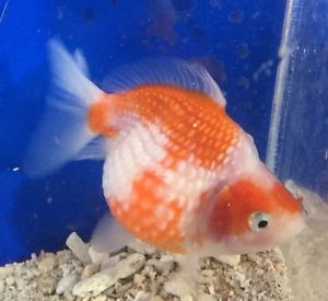 17 best images about goldfish on pinterest goldfish for Fish that can live with goldfish