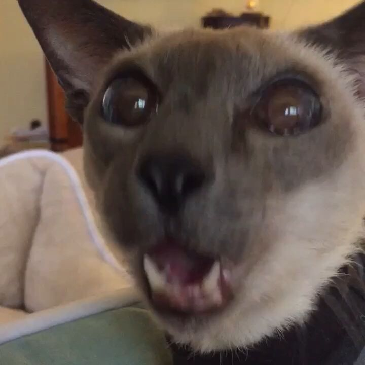 #funfact: Henry was #Chewbacca's voice coach. 🔊😸🔊 #cat #bestofvine #featuremyflip #catsofflipagram #siamese #lol #cute #siamesecat #Henry #meow #buzzfeedcats #petstagram #catlover #starwars #starwarsfan #starwarsforever Made with Flipagram - https://flipagram.com/f/yloaLiB07m