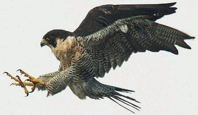 Alcon Peregrino   El halcón peregrino(Falco peregrinus) es una especie de avefalconiforme de la familia Falconidae de distribución cosmopolita. Es un halcón grande, del tamaño de un cuervo, con la espalda de color gris azulado y la parte inferior blanquecina con manchas oscuras; la cabeza es negra y cuenta con una amplia y característica bigotera también de color negro. Puede volar a una velocidad de crucero de 100 km/h, pero cuando caza efectuando un ataque en picado puede alcanzar más…