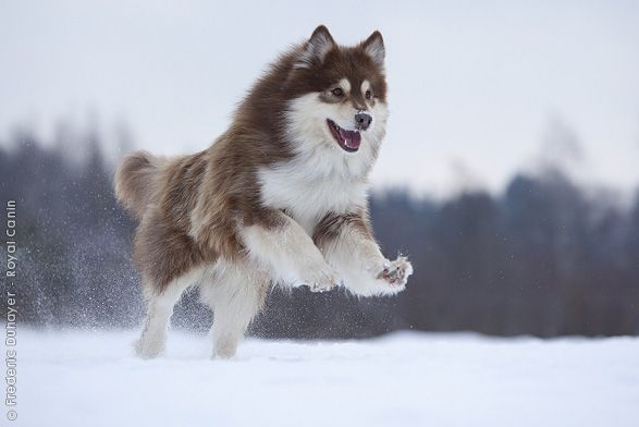 Royal Canin - Breed - Finnish Lapphund