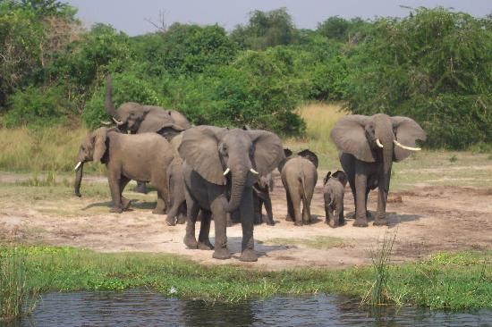 Uganda: Elephants on the nile at Murchison Falls