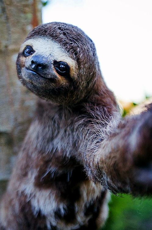 Just a Sloth, taking a selfie. #SlothSelfie #LiveSlowDieWhenever