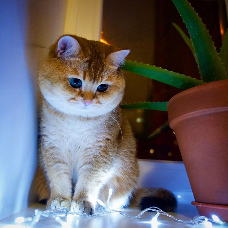 Best Hosico Cat Images On Pinterest Beautiful Cats Ginger - Hosico the cat is pretty much the real life puss in boots