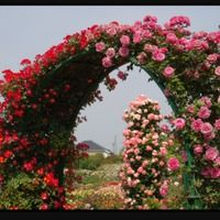 Садовая арка Клематисы + розы плетистые с нуля.