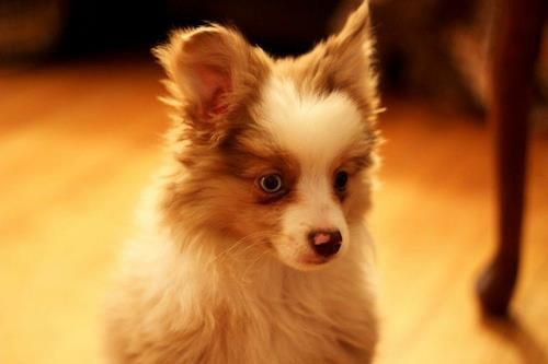 pomeranian mini australian shepherd mix for sale mini aussie pomeranian mix 8123