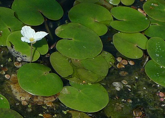 17 best images about pond plants ducks and geese dont eat for Best aquatic plants
